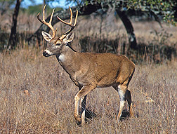 A population explosion of white-tailed deer in parts of the United States has increased the risk of transmission of some diseases: Click here for photo caption.