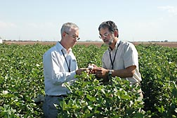ARS research leader Steve Naranjo (right) and University of Arizona IPM specialist Peter Ellsworth examine cotton lint for signs of whitefly honeydew: Click here for full photo caption.