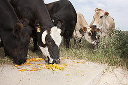 Orange peel and pulp are palatable to cattle: Click here for full photo caption.