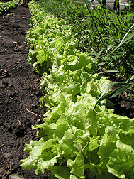 Lettuce growing in Minnesota field plots amended with 20,000 pounds of macadamia nut shell biochar per acre: Click here for full photo caption.