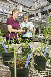 Plant pathologist Susan Meyer (right) and technician Shannon Rupprecht examine greenhouse-grown tall fescue plants that will be used for studies on suppression of plant-parasitic nematodes: Click here for photo caption.