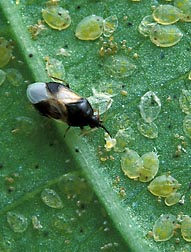 A tiny pirate bug, Orius insidiosus, feeding on whitefly nymphs: Click here for photo caption.