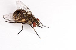 Photo: Stable fly, Stomoxys calcitrans. Link to photo information