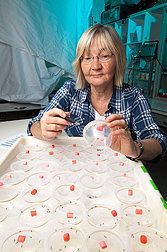 Photo: ARS entomologist Sandra Allan counts dead mosquitoes to evaluate the effectiveness of toxic sugar baits. Link to photo information