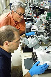 "ARS entomologist James Becnel (upper) and molecular biologist Al Estep (Navy Entomology Center of Excellence) inject nucleic acids into mosquitoes to ""silence"" specific genes: Click here for photo caption."
