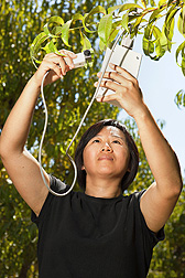 Agricultural engineer Huihui Zhang measures peach tree leaf stomatal (pore) conductance, a measure of water level inside the leaves and therefore water stress: Click here for photo caption.