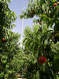 Infrared thermometer mounted on a pole for measuring peach tree canopy temperature under regulated deficit irrigation: Click here for full photo caption.