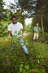 Technician Solomon Green III (foreground) and chemist Charles Cantrell collect leaves from American beautyberry plants in a forest near Oxford, Mississippi: Click here for full photo caption.