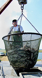 Animal caretaker Mike Lofton weighs a basket of hybrid catfish going to a processor: Click here for full photo caption.
