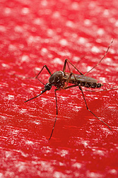 A mosquito feeding through an artificial membrane and blood substitute: Click here for full photo caption.