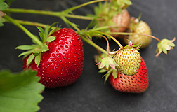 "There's more to strawberries than just great taste and a pleasing color. They are also high in a class of health-promoting compounds known as ""phenolics.�"
