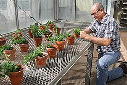 In an ARS greenhouse in Prosser, Washington, plant pathologist Lyndon Porter inspects pea plants for disease symptoms of Pea enation mosaic virus.