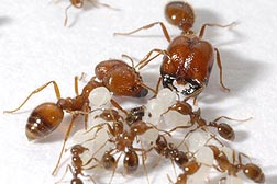 Tropical fire ants. Link to photo information