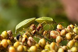 Two southern green stink bugs (Nezara viridula) mating on a sorghum seed head.