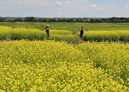 A field of canola. Link to photo information