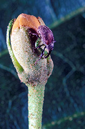 Boll weevil on a cotton bud. Click here for full photo caption.