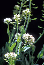 Alpine pennycress. Click here for full photo caption.