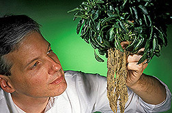 A soil microbiologist examines the dense roots of a metal-scavenging Thlaspi plant. Click here for full photo caption.