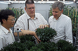 Scientists examine metal-accumulating Thlaspi plants in a growth chamber. Click here for full photo caption.