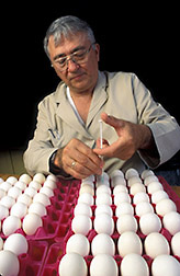 Veterinary medical officer Henry Stone vaccinates white leghorn eggs. Click here for full photo caption.