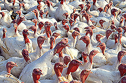 A flock of turkeys. Click here for full photo caption.