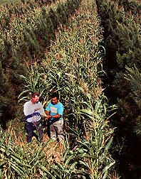 Researchers check corn for yield and quality in field where rows of corn are interspersed with a row of loblolly pine. Link to photo information