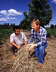 Scientists examine wheat straw mulch