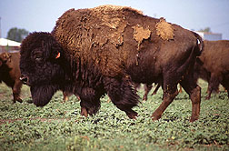 This bison is part of a 13-head herd involved in a brucellosis vaccine study at the National Animal Disease Center in Ames, Iowa.