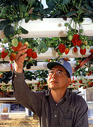 Horticultrist Fumiomi Takeda checks hydroponic strawberries.