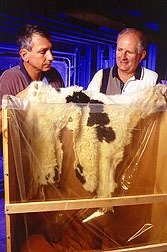 Cowhide being packaged for preservation.