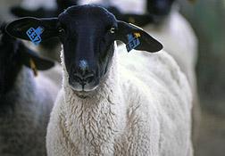 Suffolk ewe.