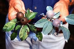 Untreated Sekel pears