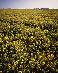 Photo: A field of lesquerella near Phoenix, Arizona. Link to photo information