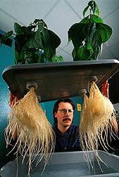 Plant physiologist Michael Grusak examines roots of hydroponically grown green bean plants.