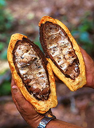 Cacao pods attacked by witches' broom fungi.