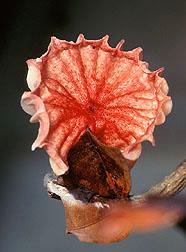 Inch-wide Crinipellis perniciosa mushroom.