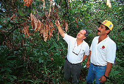 A local farmer assesses damage from a large, dry witches'-broom growth in a cacao tree.