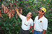 Inspecting cacao damaged by witches'-broom
