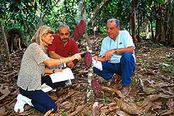 Scientists examine healthy pods on cacao cultivars resistant to witches'-broom disease.