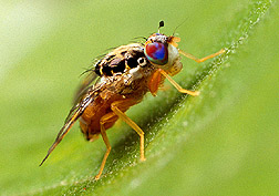 Mediterranean fruit fly. Click here for full caption.