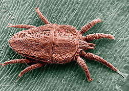 The flat mite. Magnified about 150x. Click here for full photo caption.