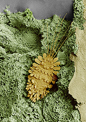 The peacock mite shown on tea stem. Magnified about 65x. Click here for full photo caption.
