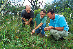 Scientists identify a thistle species as Cirsium horridulum and note where the highest mite population is most likely to be. Click here for full photo caption.