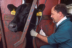 Veterinarian William Laegreid takes a blood sample from a steer. Click here for full photo caption.