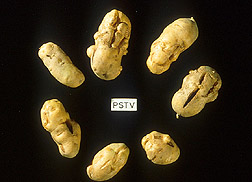 Malformed potatoes: Click here for full photo caption.