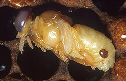 An adult female Varroa mite feeds on a developing bee: Click here for photo caption.