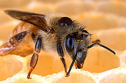 Varroa mite attached to the back of a honey bee. Link to photo information