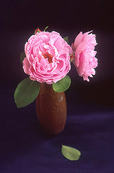 The Sarah van Fleet rose: Click here for full photo caption.