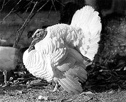 The Beltsville Small White turkey: Click here for full photo caption.