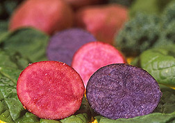 Red and purple slices of potatoes on a bed of spinach and kale: Click here for full photo caption.